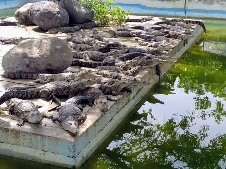Cocodrilo joven en la granja de cocodrilos en Veracruz