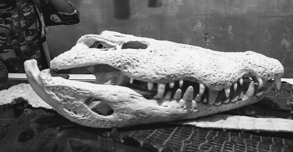 Craneo de cocodrilo en Veracruz