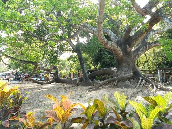 Árbol la Ceiba en La Antigua Veracruz