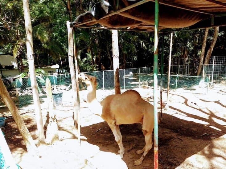 Camello en el Parque Zoológico Miguel Ángel de Quevedo