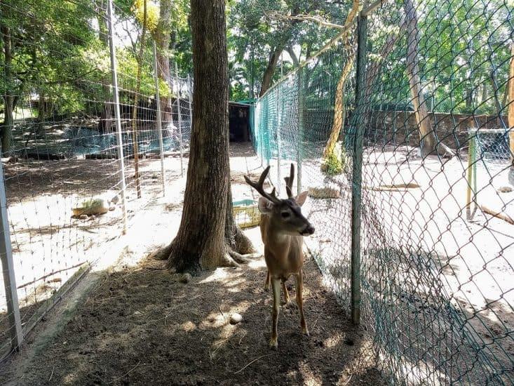 Venado en el Parque Zoológico Miguel Ángel de Quevedo
