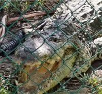 Cocodrilo en el parque zoologico miguel angel de quevedo